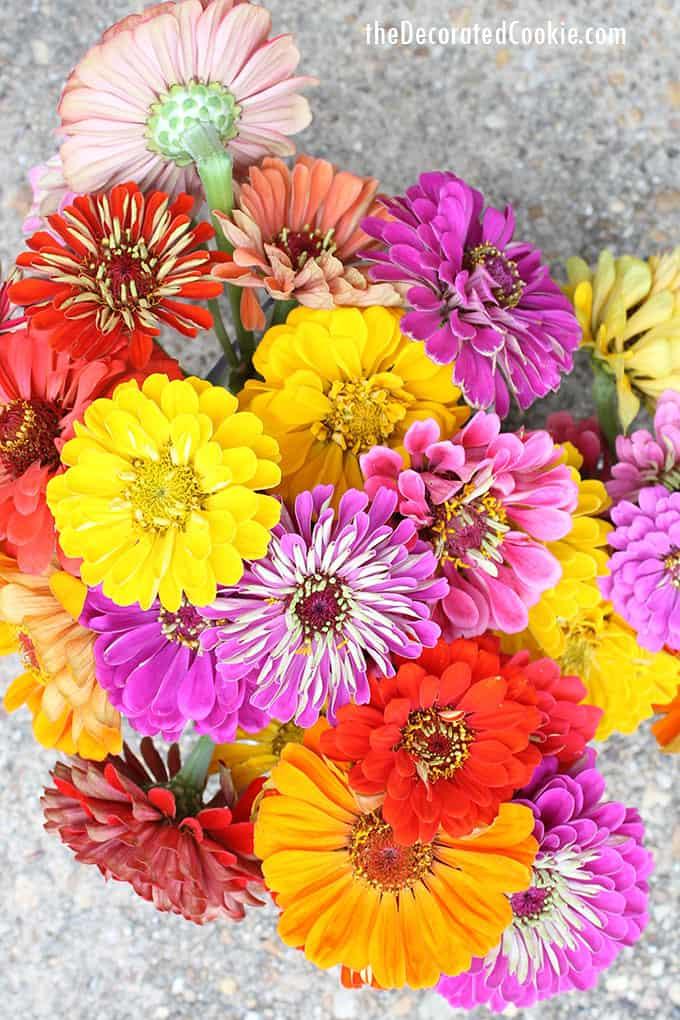 colorful zinnias flowers
