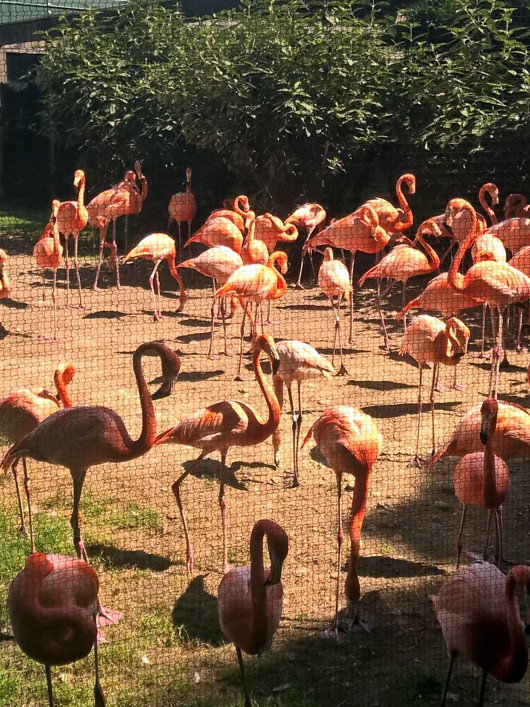 theDecoratedCookie.com--flamingos at the zoo